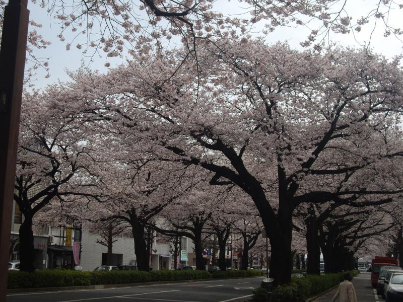 日立駅前平和通り/今日の桜並木(日立市) 画像